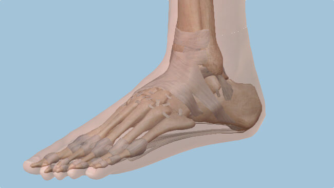 foot ankle anatomy